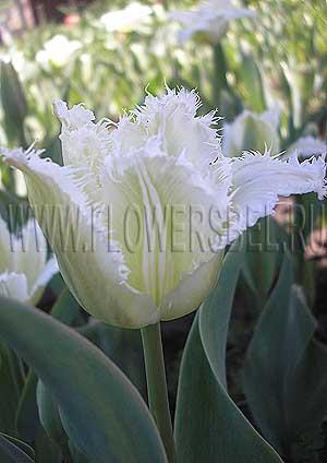 Фотография тюльпан ханимун photo tulip