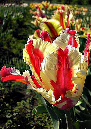 Фотография Тюльпан Флеминг Перрот (Photo Tulip Flaming Parrot)