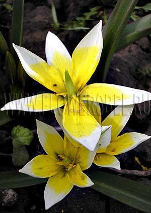 Дикорастущие виды тюльпаны