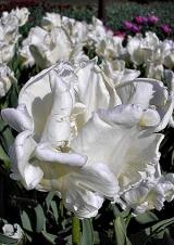 10 класс. Попугайные тюльпаны
