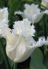 7 класс. Бахромчатые тюльпаны
