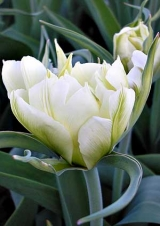 13 класс. Тюльпаны Фостера