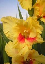 Желтые и кремовые гладиолусы