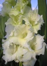 Белые и зеленые гладиолусы