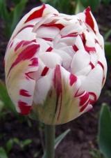 11 класс. Махровые поздние тюльпаны