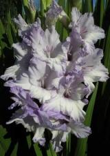 Голубые и фиолетовые гладиолусы
