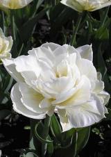 2 класс. Махровые ранние тюльпаны