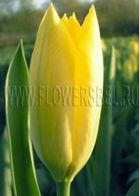 Фотография Тюльпан Йелоу Пуриссима (Photo Tulip Yellow Purissima)