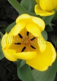 Фотография Тюльпан Кандела (Photo Tulip Candela)