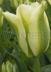 Фотография Тюльпан Сприн Грин (Photo Tulip Spring Green)
