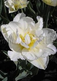 Фотография Тюльпан Мондиал (Photo Tulip Mondial)