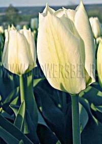 Фотография Тюльпан Пуриссима (Photo Tulip Purissima)