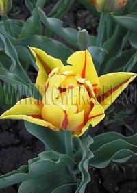 Тюльпан Монселла (Tulip Monsella)