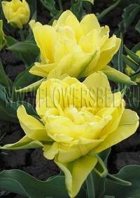 Тюльпан Монте Карло (Tulip Monte Carlo)