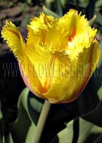 Фотография Тюльпан Фламенко (Photo Tulip Flamenco)