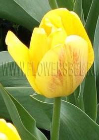 Фотография Тюльпан Бьюти оф Апельдорн (Photo Tulip Beauty of Apeldoorn)