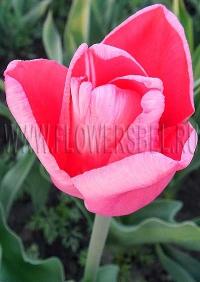 фотография Тюльпан Фёст Рози (photo Tulip First Rosy)