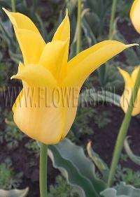 фотография Тюльпан Флешбэк (photo Tulip Flashback)