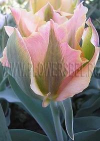 Фотография Тюльпан Голден Артист (Photo Tulip Golden Artist)