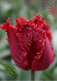 Тюльпан Индиана (Tulip Indiana)