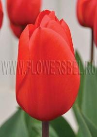 Тюльпан Лалибела (tulip Lalibela)
