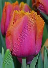 Тюльпан Лувр Оранж (Tulip Louvre Orange)