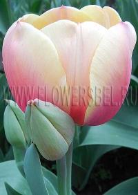 фотография тюльпан Марит (photo Tulip Marit)