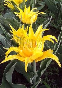 Тюльпан Монте Спайдер (Tulip Monte Spider)