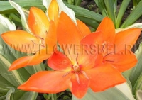 Фотография Тюльпан Престанц Уникум (Photo Tulip Praestans Unicum)
