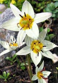 Фотография Тюльпан Туркестаника (Photo Tulip Turkestanica)