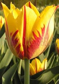 Фотография Тюльпан Микки Маус (Photo Tulip Mickey Mouse)