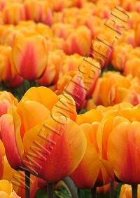Фотография Тюльпан Кэш (tulip Cash photo)