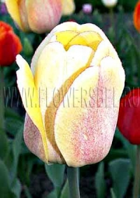 Фотография Тюльпан Голден Парад (Photo Tulip Golden Parade)