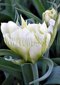 Фотография Тюльпан Экзотик Эмперор (Photo Tulip Exotic Emperor)