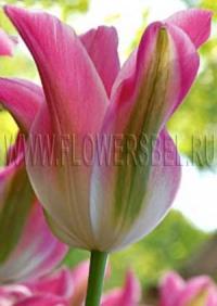 Фотография Тюльпан Флороза (Photo Tulip Florosa