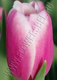 Тюльпан Дания (Tulip Danija)