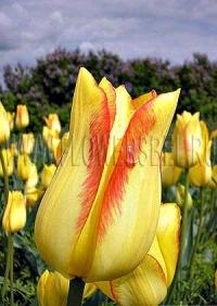 Фотография Тюльпан Жоржетта (Photo Tulip Georgette)