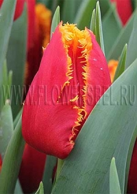 Фотография Тюльпан Фабио (Tulip Fabio photo)