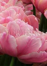 Фотография тюльпана Финола (tulip Finola photo)