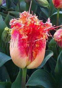 Фотография Тюльпан Реал Тайм (Tulip Real Time photo)
