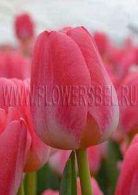 Фотография тюльпана Супер Модель (Tulip Super Model photo)