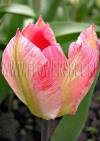 Фотография Тюльпан Фламинг Пуриссима (Photo Tulip Flaming Purissima)