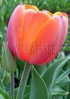 Тюльпан Ад Рем (Tulip Ad Rem)