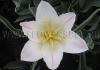 Фотография Тюльпан Холланд Шик (Photo Tulip Holland Chic)