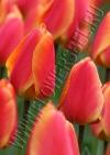 Тюльпан Оксфордс Элит (Tulip Oxford's Elite)
