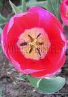 Фотография Тюльпан Рэд Пауэр (Photo Tulip Red Power)
