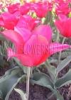 Фотография Тюльпан Ред Шайн (Photo Tulip Red Shine)