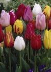 Смесь сортов тюльпанов