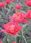 Фотография Тюльпан Абба (Photo Tulip Abba)