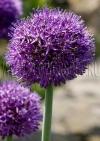 Лук Афлатунский (Allium aflatunense)